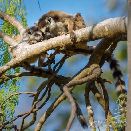 Berenty, Landscape, Madagascar, Nature, Photography, Ringtailed Lemur, Travel, Verraux's Sifaka, Wildlife