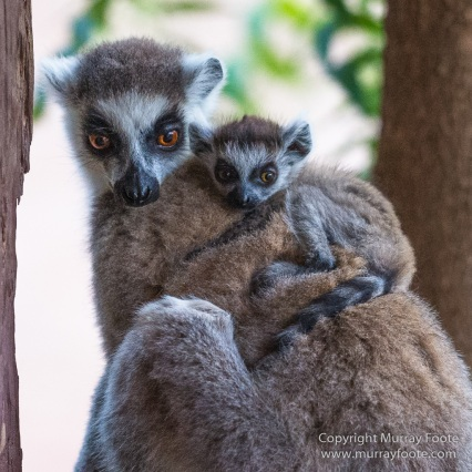 Aldabra tortoise, Berenty, Landscape, Madagascar, Nature, Nile crocodile, Photography, Red fronted lemur, Ringtailed Lemur, Spiny Forest, Sportive Lemur, Travel, Verraux's Sifaka, Wildlife, Yellow-billed Kite