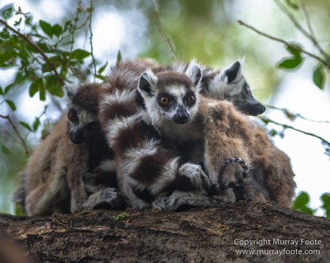 Alluaudia Procera, Berenty, Chameleons, Flatid Leaf Bugs, Landscape, Madagascar, Nature, Photography, Ringtailed Lemur, Spiny Forest, Sportive Lemur, Travel, Wildlife, Yellow-billed Kite