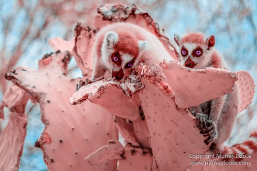 Berenty, Chameleons, Infrared, Landscape, Madagascar, Nature, Photography, Ringtailed Lemur, Spiny Forest, Travel, Wildlife