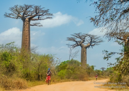 Avenue of the Baobabs, Baobabs, Carts, Kirindy, Landscape, Madagascar, Morondava, Nature, Photography, Travel, Wildlife, Zebu