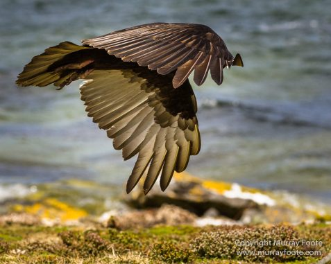 Cara cara, Falkland Islands, Giant Petrel, Landscape, Nature, Pebble Island, Photography, Rock Cormorant, seascape, Skua, Travel, Turkey vultures, Wilderness, Wildlife