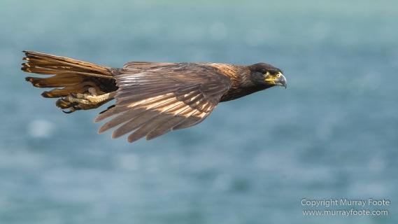 Cara cara, Falkland Islands, Giant Petrel, Landscape, Nature, Pebble Island, Photography, Rock Cormorant, seascape, Skua, Travel, Turkey vultures, Wilderness, Wildlife