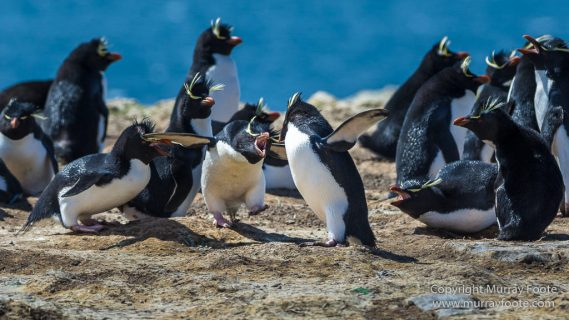 Aerial Photography, Falkland Islands, Gentoo Penguins, Landscape, Magellenic Penguin, Pebble Island, Penguins, Photography, Rockhopper Penguins, seascape, Skua, Travel