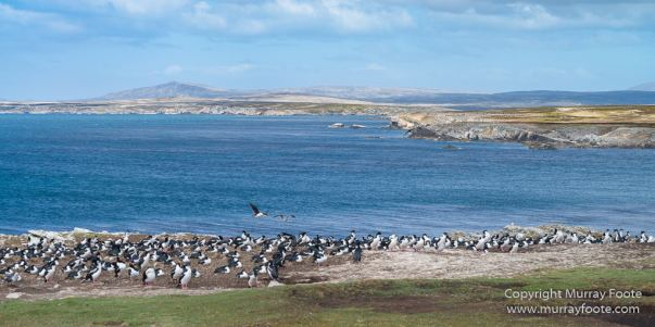 Dolphin Gull, Falkland Islands, Giant Petrel, Imperial Cormorant, King Cormorant, Landscape, Nature, Pebble Island, Photography, seascape, Travel, Wilderness, Wildlife