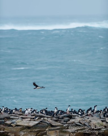 Elephant seals, Falkland Islands, Gentoo Penguins, King Cormorant, Landscape, Magellenic Penguin, Nature, Photography, Sea Lion Island, seascape, Silvery Grebe, Steamer duck, Travel, Wilderness, Wildlife