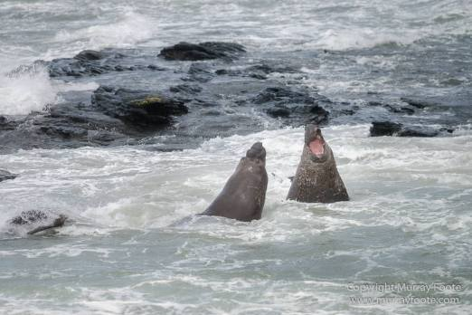 Elephant seals, Falkland Islands, Landscape, Nature, Photography, Sea Lion Island, seascape, Travel, Wilderness, Wildlife