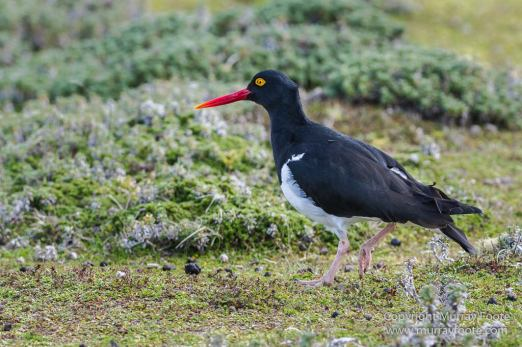 Falkland Islands, Landscape, Long-tailed meadowlark, Magellanic Oyster Catcher, Nature, Patagonian Crested Duck, Pebble Island, Photography, seascape, Silver Teal, Travel, Upland Goose, Wilderness, Wildlife, Yellow-billed Teal