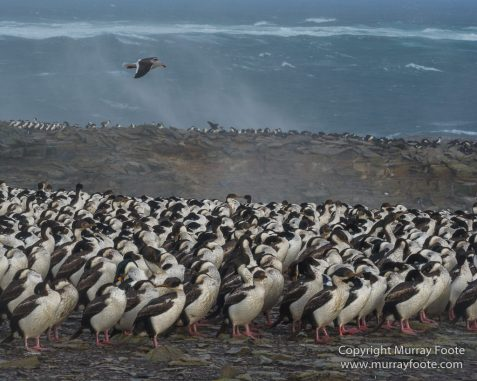 Cara cara, Falkland Islands, Gentoo Penguins, King Cormorant, Landscape, Nature, Photography, Sea Lion Island, seascape, Travel, Wilderness, Wildlife