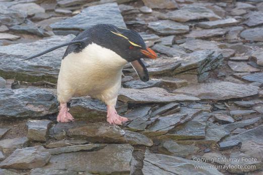 Cara cara, Falkland Islands, Gentoo Penguins, King Cormorant, Landscape, Nature, Photography, Sea Lion Island, seascape, Travel, Wilderness, Wildlife