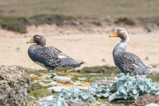 Cara cara, Falkland Islands, Gentoo Penguins, Landscape, Macaroni Penguins, Nature, Pebble Island, Photography, Rockhopper Penguins, seascape, Travel, Turkey vultures, Upland Goose, Wilderness, Wildlife