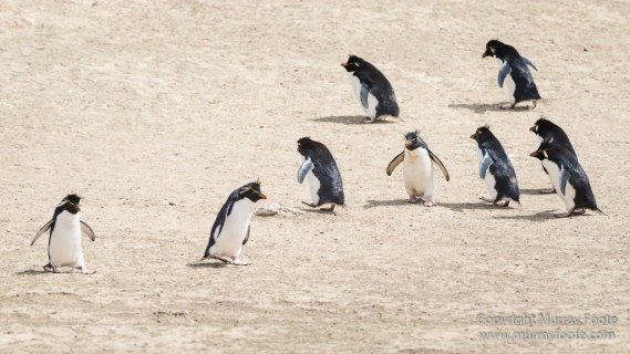 Cara cara, Falkland Islands, Gentoo Penguins, Landscape, Macaroni Penguins, Nature, Pebble Island, Photography, Rockhopper Penguins, seascape, Travel, Turkey vultures, Upland Goose, Wilderness, Wildlife