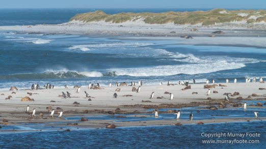 Elephant seals, Falkland Islands, Kelp Geese, Landscape, Nature, Patagonian Crested Duck, Penguins, Photography, Sea Lion Island, seascape, Speckled Teal, Steamer duck, Travel, Wilderness, Wildlife