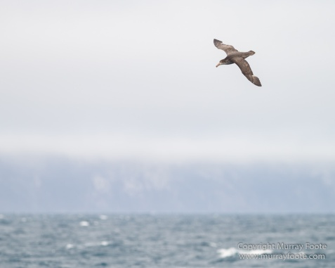 Black-browed albatross, Cape Petrel, Falkland Islands, Giant Petrel, Landscape, Nature, Photography, seascape, Snow Petrel, South Georgia, Travel, Wilderness, Wildlife