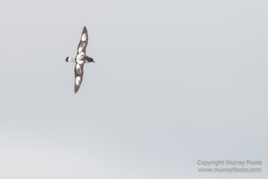 Black-browed albatross, Cape Petrel, Falkland Islands, Giant Petrel, Landscape, Nature, Photography, seascape, Snow Petrel, South Georgia, Travel, Wilderness, Wildlife