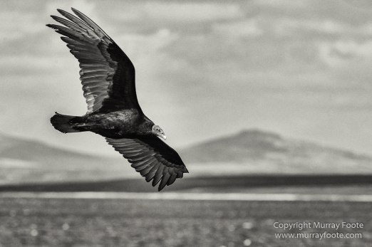 Cara cara, Falkland Islands, King Cormorant, Landscape, Nature, Patagonian Crested Duck, Pebble Island, Photography, Rockhopper Penguins, seascape, Travel, Turkey vultures, Upland Goose, Wilderness, Wildlife