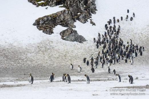Elephant seals, King Penguins, Landscape, Nature, Photography, seascape, South Georgia, Travel, Wilderness, Wildlife