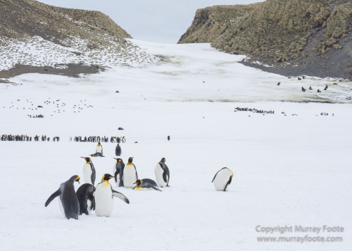Elephant seals, King Penguins, Landscape, Nature, Photography, seascape, South Georgia, Travel, Wilderness, Wildlife