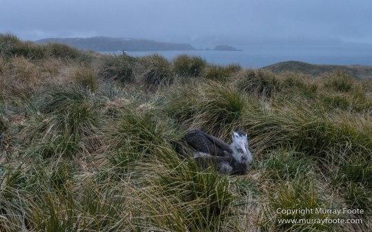 Giant Petrel, Landscape, Nature, Photography, seascape, South Georgia, Travel, Wandering Albatross, Wilderness, Wildlife