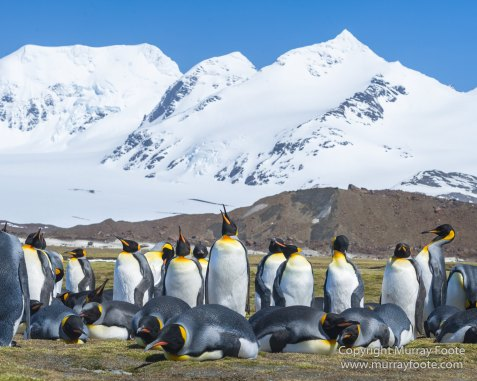 Fur seal, King Penguins, Landscape, Nature, Photography, seascape, South Georgia, Travel, Wilderness, Wildlife