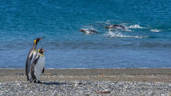 Fur seal, King Penguins, Landscape, Nature, Photography, seascape, South Georgia, Travel, Wilderness, Wildlife