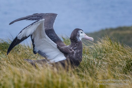 Giant Petrel, Landscape, Nature, Photography, seascape, South Georgia, Travel, Wandering Albatross, Wilderness, Wildlife