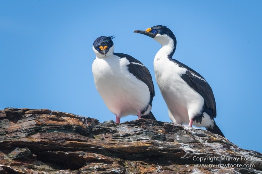 Chinstrap penguins, Landscape, Macaroni Penguins, Nature, Photography, seascape, South Georgia, South Georgia Cormorant, Travel, Wilderness, Wildlife