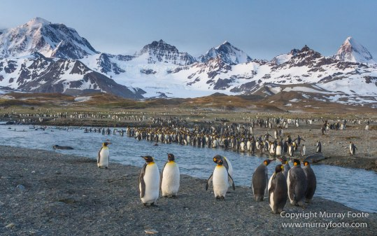Elephant seals, King Penguins, Landscape, Nature, Photography, Snowy sheathbill, South Georgia, Travel, Wilderness, Wildlife