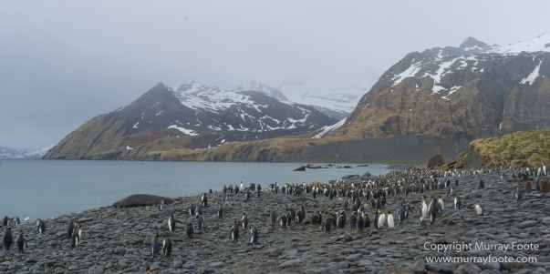 Elephant seals, Giant Petrel, King Penguins, Landscape, Nature, Photography, seascape, South Georgia, Travel, Wilderness, Wildlife