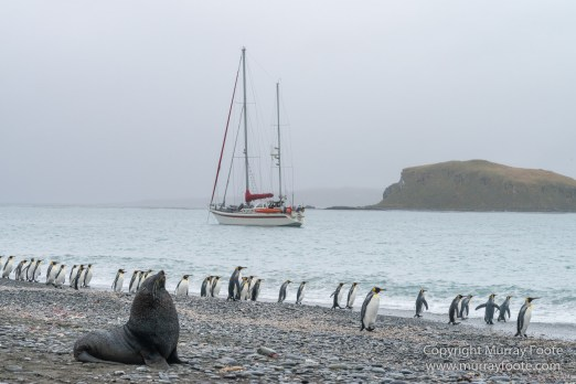 Elephant seals, Fur seal, King Penguins, Landscape, Nature, Photography, seascape, South Georgia, Travel, Wilderness, Wildlife