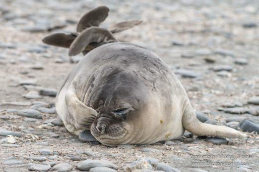Elephant seals, Fur seal, King Penguins, Landscape, Nature, Photography, seascape, Snowy sheathbill, South Georgia, Travel, Wilderness, Wildlife