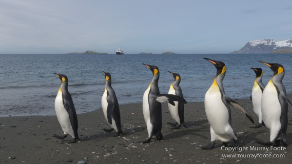 Elephant seals, Fur seal, King Penguins, Landscape, Nature, Photography, seascape, Snowy sheathbill, South Georgia, Travel, Wilderness, Wildlife