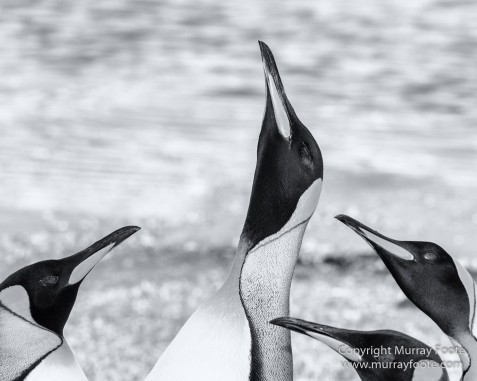 Black and White, Elephant seals, Giant Petrel, Icebergs, King Penguins, Landscape, Monochrome, Nature, Photography, Rockhopper Penguins, seascape, South Georgia, Travel, Wilderness, Wildlife