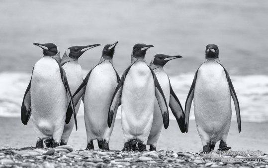Black and White, Elephant seals, Fur seal, Infrared, King Penguins, Landscape, Monochrome, Nature, Photography, seascape, Shipwreck, South Georgia, Travel, Wilderness, Wildlife