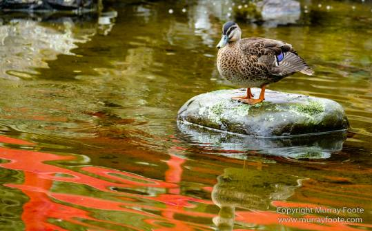 Australia, Duck, Hobart, Japanese Garden, Landscape, Nature, Photography, Royal Tasmanian Botanical Gardens, Tasmania, Travel