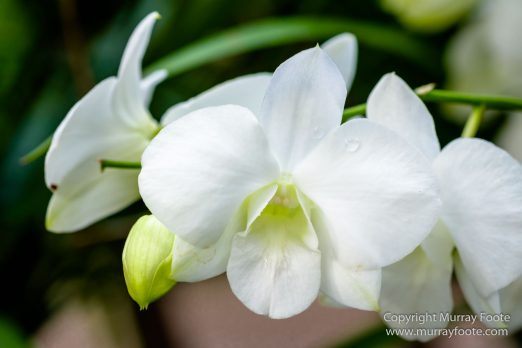 Flowers, Landscape, Macro, National Orchid Garden, Nature, Orchids, Photography, Singapore, Singapore Botanic Gardens, Travel