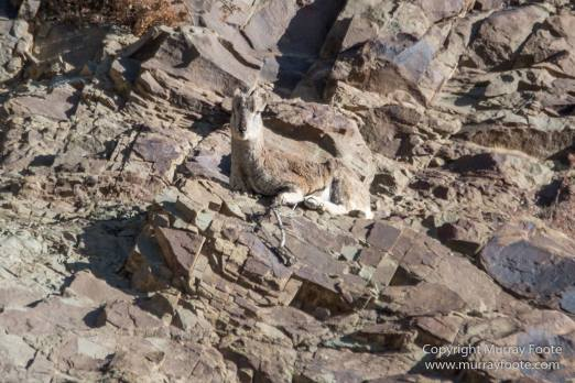 Bharal, Blue Sheep, Hemis National Park, India, Ladakh, Landscape, Nature, Photography, Rumbak, Tibet, Travel, Wilderness