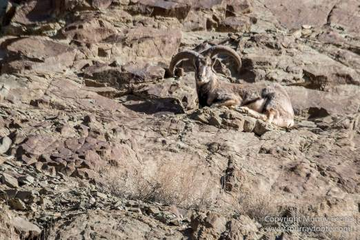 Bharal, Blue Sheep, Hemis National Park, India, Ladakh, Landscape, Nature, Photography, Rumbak, Tibet, Travel, Wilderness