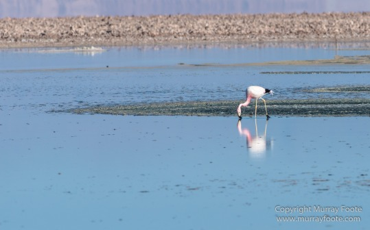 Andean Flamingo, Atacama Desert, Chile, Chilean Flamingo, Laguna Chaxa, Landscape, Nature, Photography, Salar de Atacama, Travel, Wilderness, Wildlife