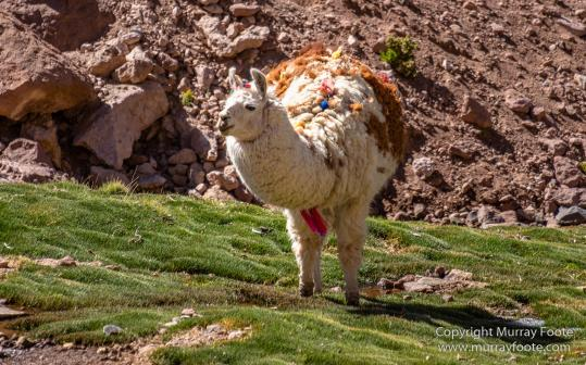 Atacama Desert, Cacti, Chile, Geyser, Landscape, llama, Nature, Photography, Travel, vicuña, Widlife, Wilderness