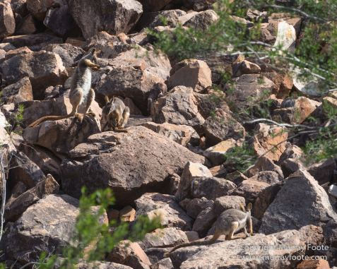 Australia, Brachina Gorge, Flinders Ranges, Landscape, Merna Mora Station, Nature, Photography, South Australia, Travel, Wilderness, Wildlife, Yellow-footed rock-wallaby