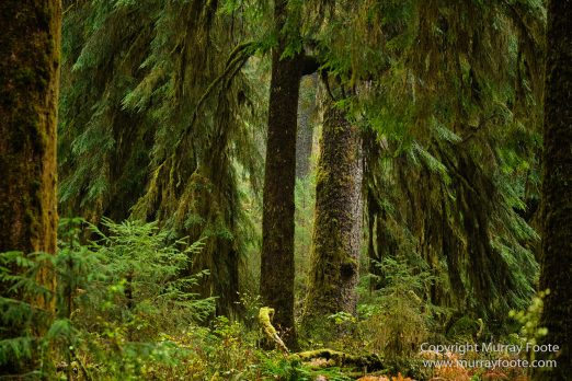 Hoh Rain Forest, La Push, Landscape, Nature, Photography, Rainforest, Rialto Beach, seascape, Travel, USA, Washington, Wilderness