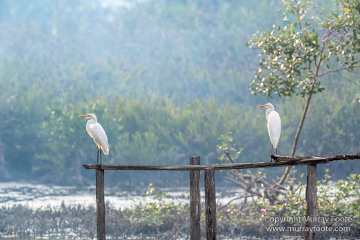 Egrets, Kota Kinabalu, Kota Kinabalu Wetland Ramsar Site, Mangroves, Nature, Photography, Sabah, Travel, Wilderness, Wildlife