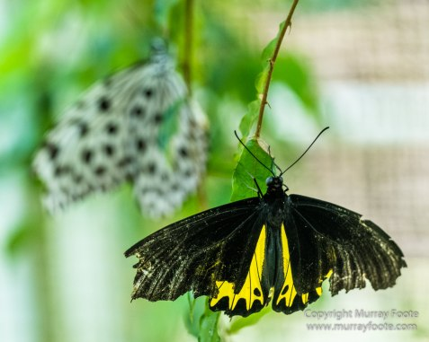 Butterfly, Insects, Landscape, Nature, Photography, Poring Hot Springs, Sabah, Sabah Tea Plantation, Travel, Wilderness, Wildlife