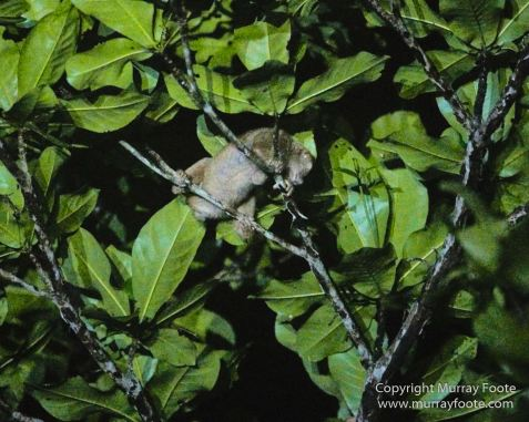 Asian Palm Civet, Birds, Butterfly, Insects, Kingfisher, Landscape, Monitor Lizard, Nature, Photography, Pig Tailed Macaques, Sabah, Slow Loris, Travel, Wilderness, Wildlife