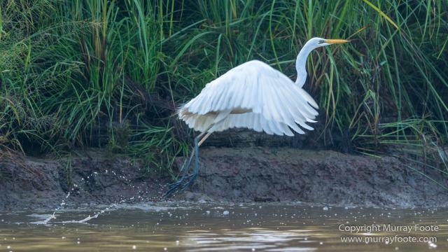 Birds, Egrets, Hornbill, Infrared, Kinabatangan River, Kingfisher, Landscape, Nature, Photography, Proboscis Monkey, Sabah, Travel, Wilderness, Wildlife