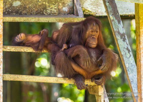 Birds, Crested Serpent Eage, Hornbill, Landscape, Millipede, Monitor Lizard, Nature, Orang Utan, Photography, Pig Tailed Macaques, Sabah, Tabin, Travel, Wilderness, Wildlife