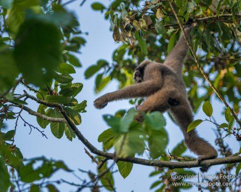 Birds, Clouded Leopard, Crested Serpent Eagle, Drongo, Gibbon, Hornbill, Landscape, Monitor Lizard, Nature, Photography, Sabah, Tabin, Travel, Wilderness, Wildlife