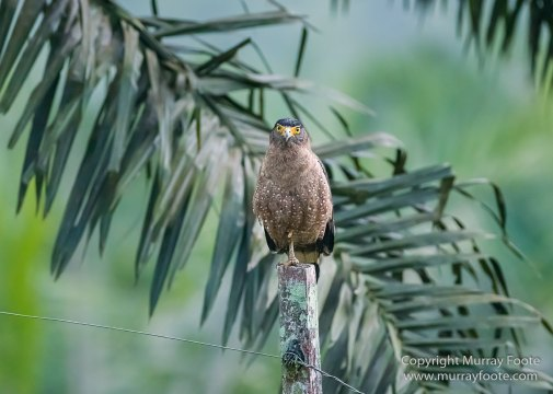 Birds, Clouded Leopard, Crested Serpent Eagle, Drongo, Gibbon, Hornbill, Landscape, Monitor Lizard, Nature, Photography, Sabah, Tabin, Travel, Wilderness, Wildlife