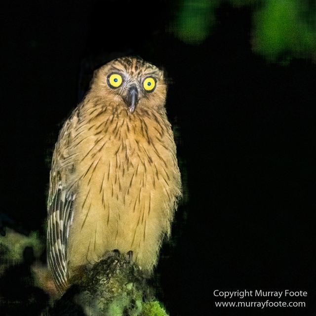 Buffy Fish Owl, Gibbon, Hornbill, Infrared, Landscape, Leopard cat, Nature, Parrot, Photography, Rhinoceros, Sabah, Tabin, Travel, Wilderness, Wildlife